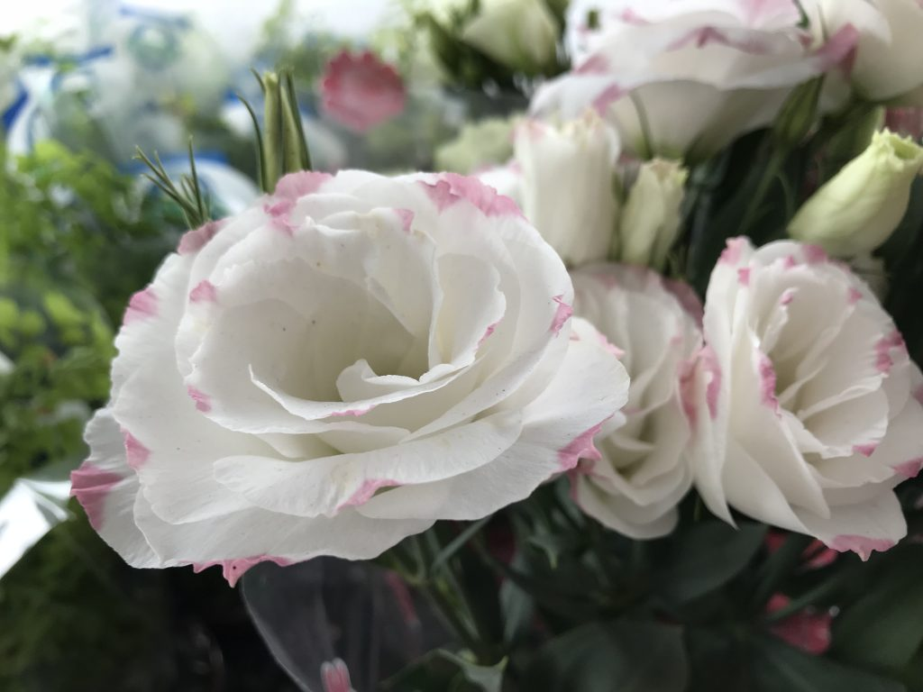 Lisianto (Eustoma grandiflorum) branco com borda rosa